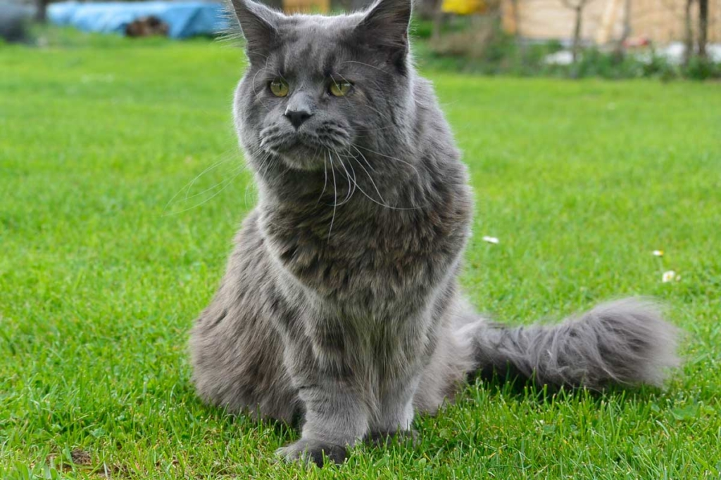 Gandalf élevage chats maine coon bavay nord 59