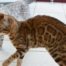 Miss Moon chat femelle bengal