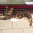 Néo élevage chat Bengal Coeur de Moon