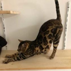 Néo élevage chats bengal bavay nord 59