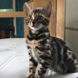 Oompa de CoeurdeMoon chaton bengal femelle