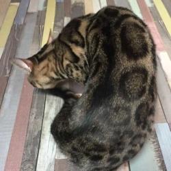 ibiza chat bengal femelle élevage Coeur de moon