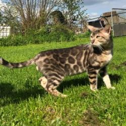 Jasper chat bengal femelle élevage Coeur de moon
