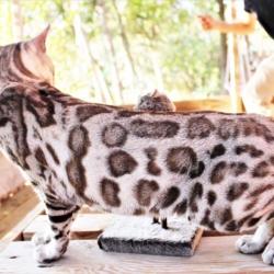 John snow élevage chats bengal bavay nord 59