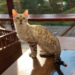 Mila élevage chats bengal bavay nord 59