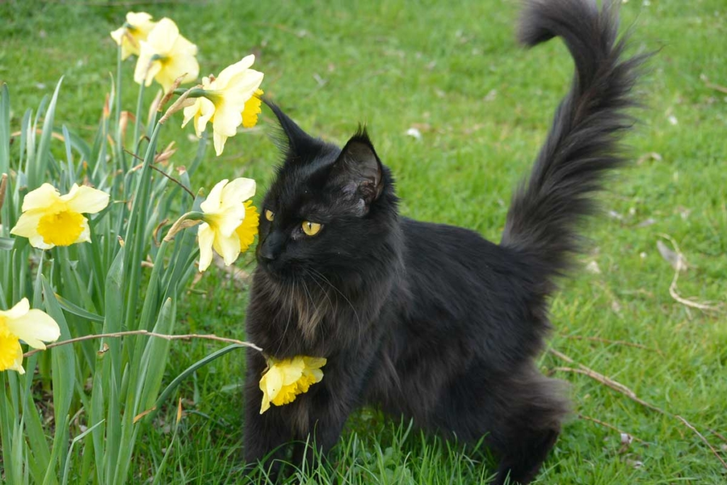 pedigree_femelle_maincoon_nirvana_NEYTIRI