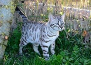 Nymphe chat élevage chat bengal Coeur de moon