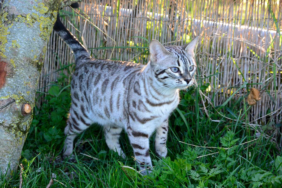 Nymphe chat élevage chat bengal Coeur de moon