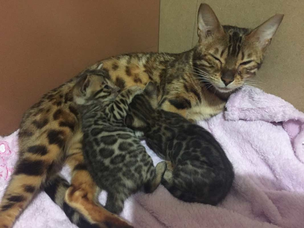 Ollyvar élevage chats bengal bavay nord 59