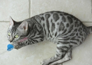 Thyra élevage chats bengal bavay nord 59