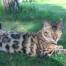 Simba chat bengal - elevage coeur de moon hauts de france 59
